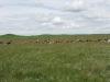 cow herd 2011