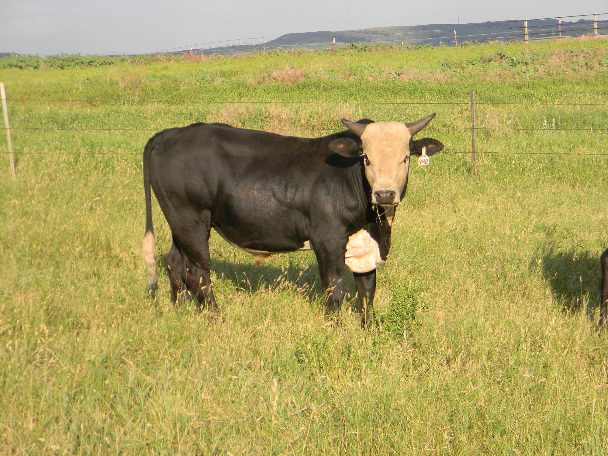 Houdini son/Superstition cow