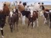 2008 calves